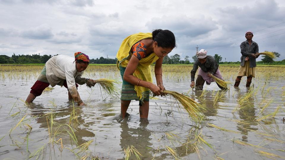 The government on Wednesday hiked the minimum support price (MSP) for paddy by Rs 200 per quintal, looking to fulfil its election promise to give farmers 50% more rate than their cost of production. The decision, taken by the union cabinet headed by Prime Minister Narendra Modi comes less than a year before next general election. (Anuwar Hazarika / REUTERS)