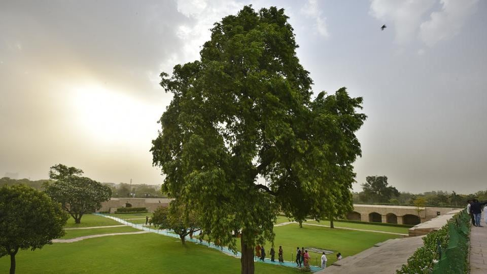 The handsome, evergreen Ashoka tree at Rajghat. Prized for its beautiful foliage and fragrant flowers that profuse extensively from February to May, the tree holds significance for its medicinal value, with all parts of the tree including the bark, leaves, flowers and seeds used in various ayurvedic medicines. (Raj K Raj / HT Photo)