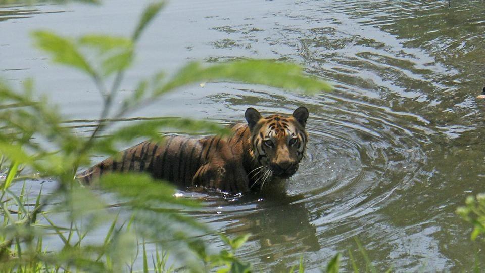 Fishermen harass tiger,Sunderbans,West Bengal