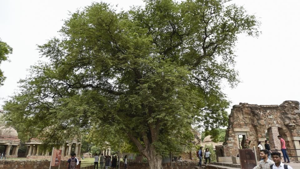 Recognized as one of eighteen 'Natural Heritage' trees in the city and at over a hundred years old, the deciduous Imli tree in the Hauz Khas village monuments compound is a fine attraction in itself. (Burhaan Kinu / HT Photo)