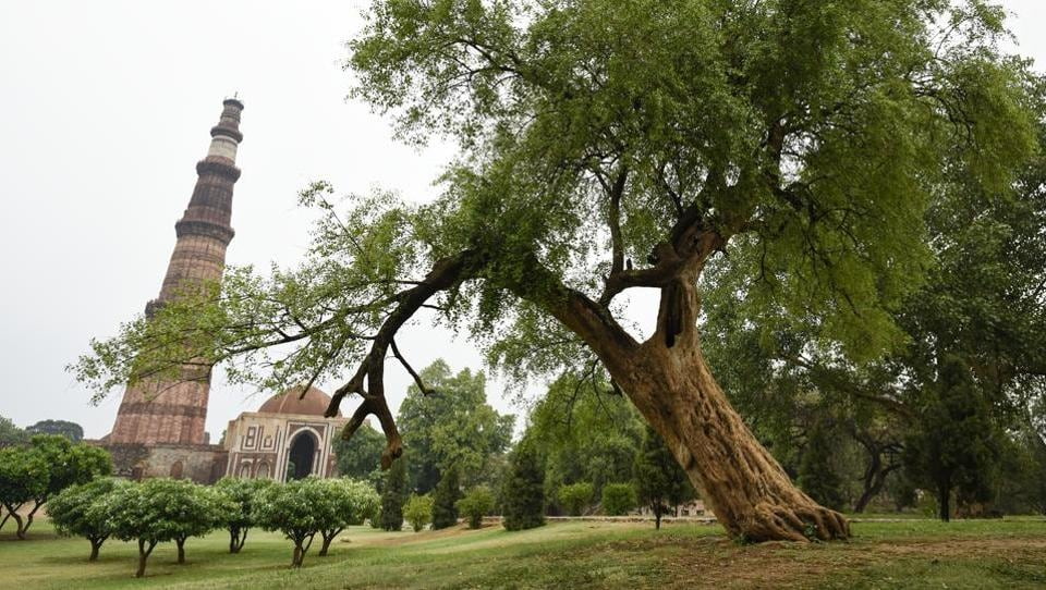 Leaning like the Whomping Willow from the Harry Potter series, this Salvadora tree in the Qutub Minar complex, gives the minaret quite the fight for attention. (Burhaan Kinu / HT Photo)