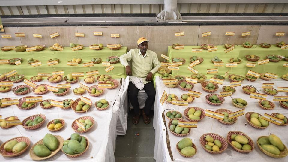 In this three-day festival, one can find a mango as small as that it resembles a marble to others that weigh 1,660 grams. (Burhaan Kinu / HT Photo)