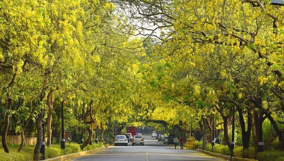 Amaltas, also known as the golden shower trees, seen in full bloom in New Delhi.