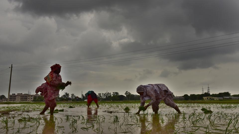Workers plant paddy seedlings in a field at PAU research farms in Ludhiana.