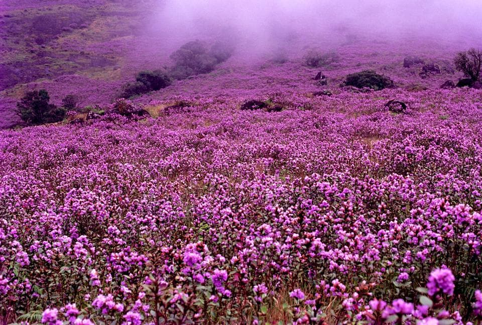 Best time to visit Kerala: The rare neelakurinji flower blooms once every 12 years in Munnar.