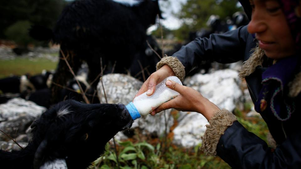 Gulay Gobut feeds a goat before the day's journey near Mersin. The family's only daughter, Gulay studied medical supply marketing at a college in the mid-western province of Bilecik. She rejoined her family because she couldn't find work, but said she misses the settled lifestyle. (Osman Orsal / REUTERS)