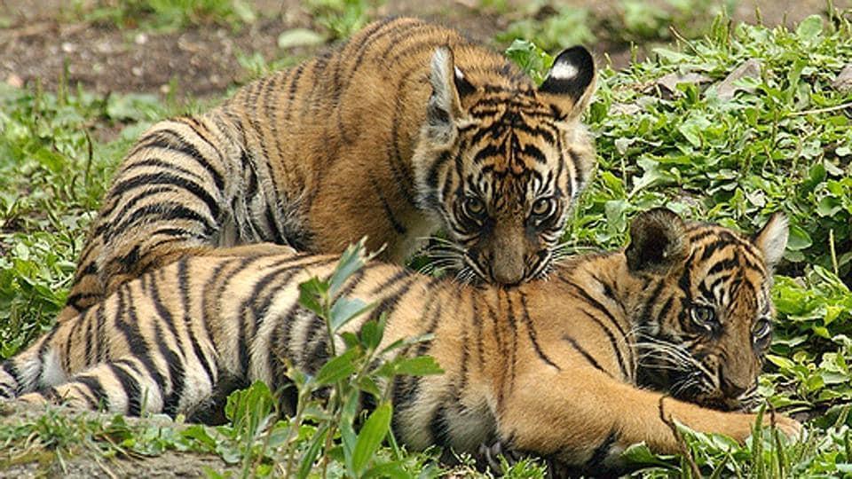 Tigers in Sariska. A tigress, ST5, had gone missing in February.