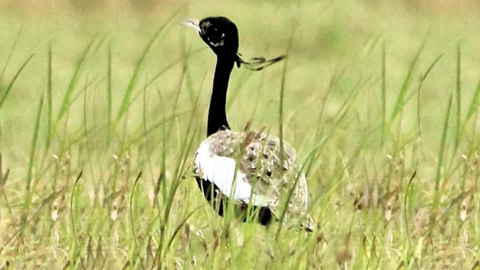Lesser Florican,Bird extinction,India wildlife