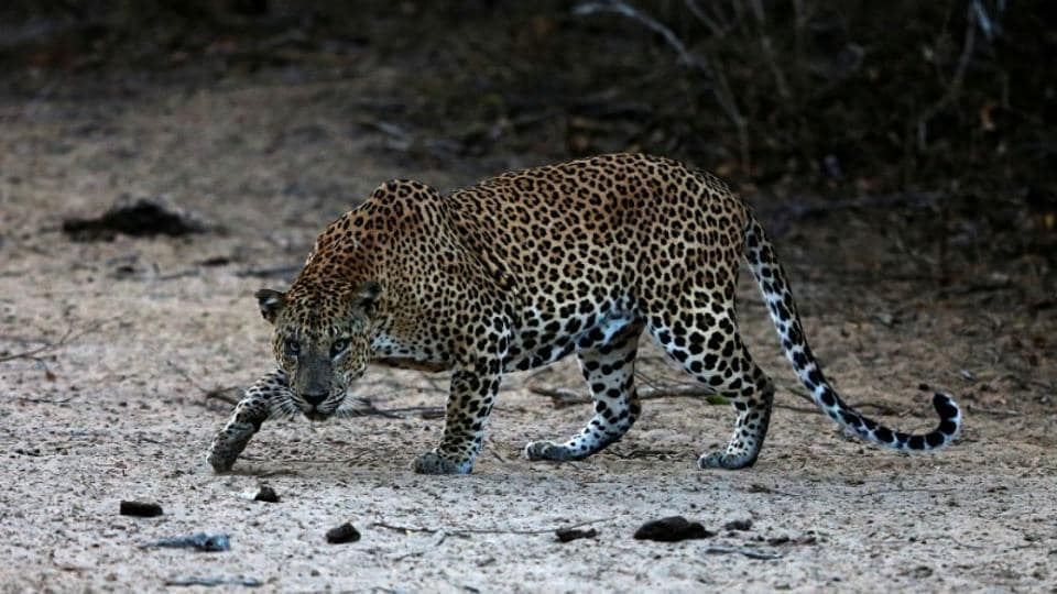 Cows attack leopard,Leopard killed,Gautala wildlife sanctuary