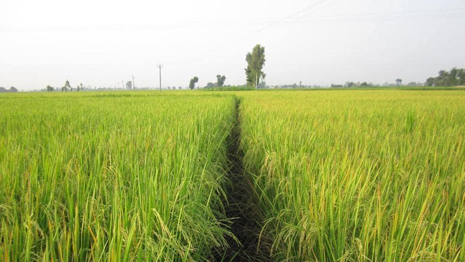 basmati rice,basmati exports,basmati rice export