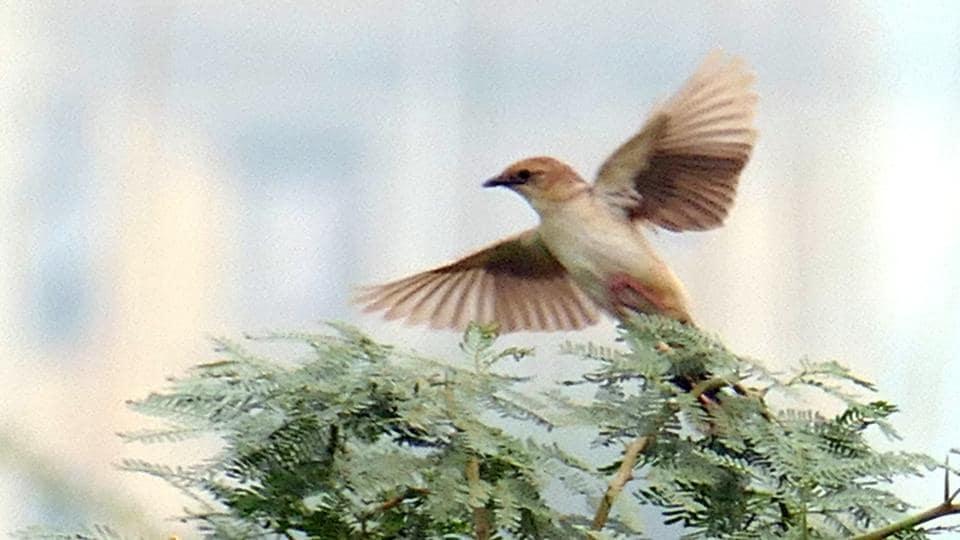 Bristled grassbird,Surajpur wetlands,Greater Noida