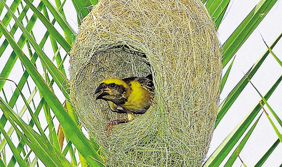 "Nest completed, a bird checks out the interiors. Urging the birdwatchers' community to educate people about conserving wildlife, Gurmeet Singh, chief wildlife warden of Punjab, says, ""Unlike pigeons or crows,  Baya weavers have not accepted or adapted to human habitats. The loss of natural environment questions the long-term  survival of the species.""  (Anil Dayal/HT)"