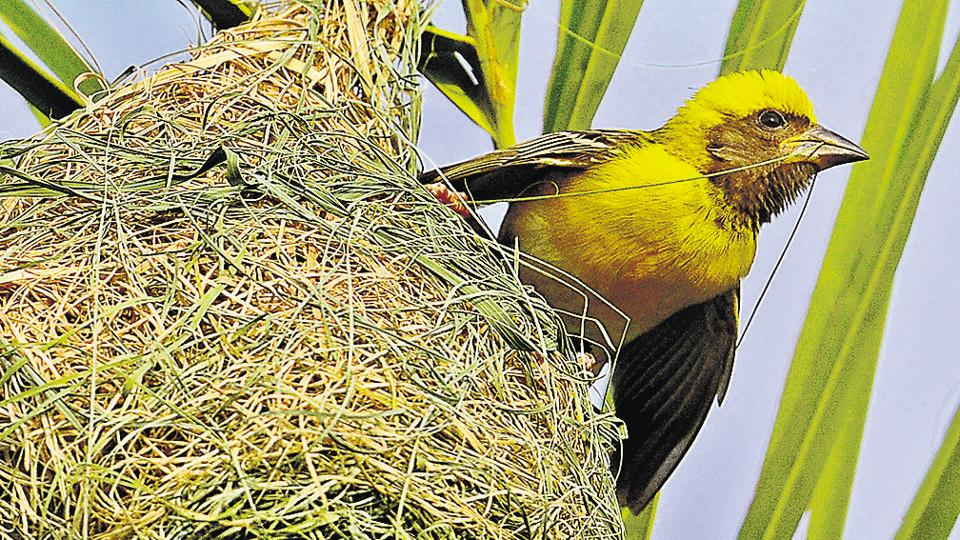 Weaver using its strong conical beak to tie sturdy knots. One can easily spot these brightly coloured gregarious birds in the lush green landscape of city beautiful as they noisily brace up for mating in the monsoons.  (Anil Dayal/HT)