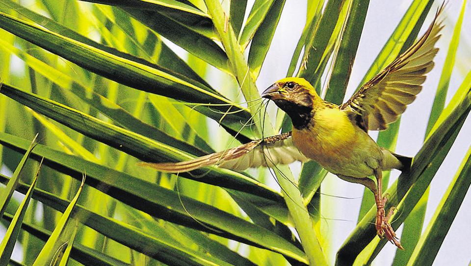 Baya weaver collecting plant materials for building a nest. Weaver birds  get their name because they are masters of their craft of intricately weaving  unusual apartment-house nests. Unfortunately, the population of these  birds that build their nests near wetlands is decreasing at an alarming rate due to encroachment of their  habitat by humans.  (Anil Dayal/HT)