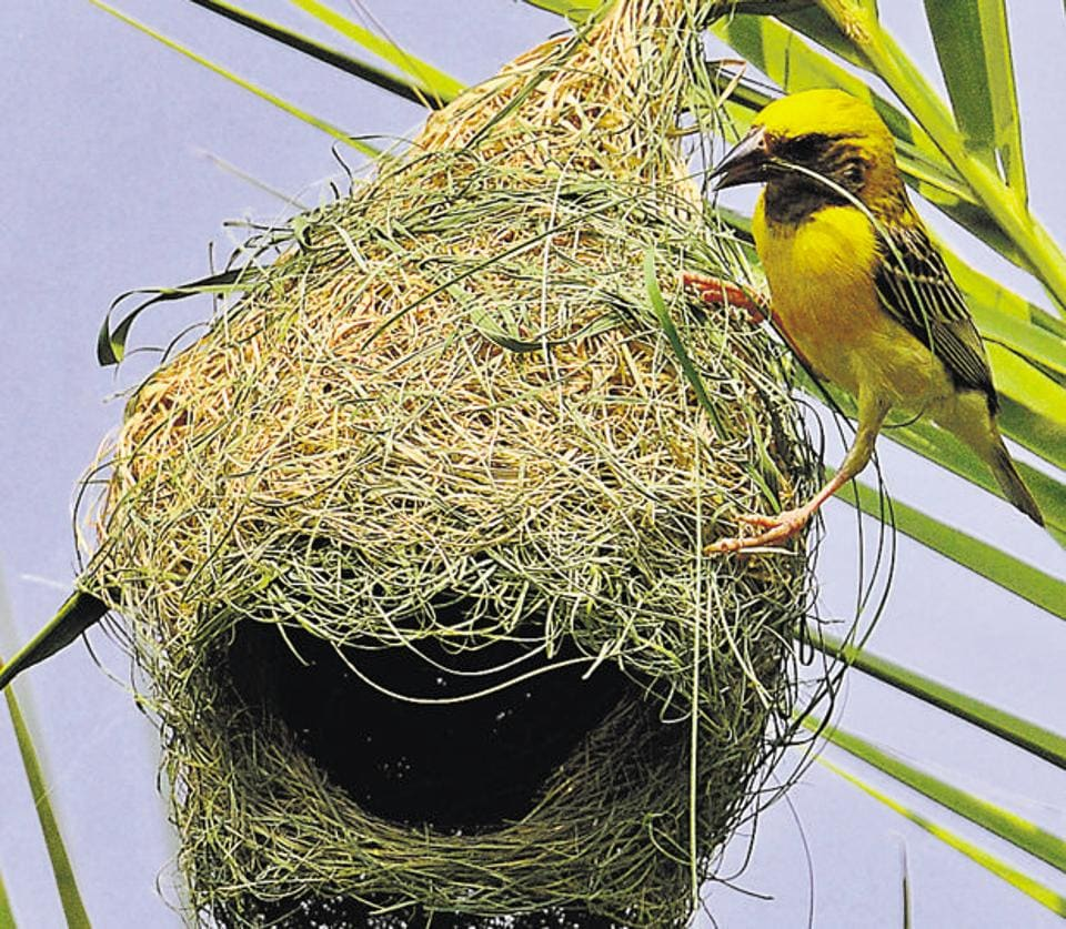 Male weaver skillfully weaving grass blades and leaf strips. The most common type of weaver-bird that is found across the Indian subcontinent is the Baya weaver, which  resembles the house sparrow.  (Anil Dayal/HT)