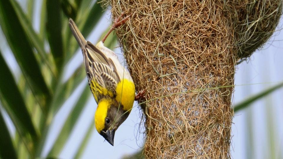 The removal of  date palms in Chandigarh has altered the natural life patterns of the birds.  (Anil Dayal/HT)