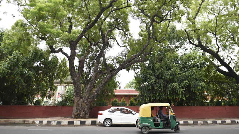 Next is the towering Neem tree near the V-C office in DU's north campus. It is believed to be among the oldest trees in the area. (Burhaan Kinu / HT Photo)