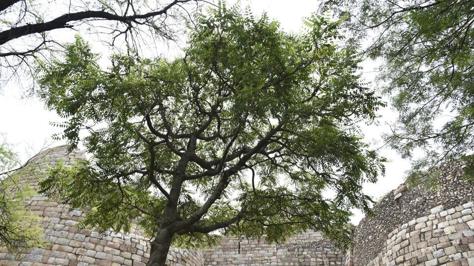 Then there's the Ailanthus tree, also known as the Maha Neem, among the biggest and oldest trees in the ruins of the Tughlakabad fort. (Burhaan Kinu / HT Photo)