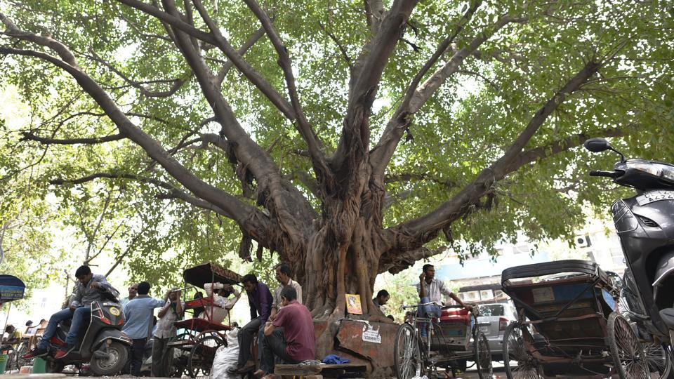 Next is an old Pilkhan tree that serves as a pit stop for commuters in Chandni Chowk. Locals say it was planted in the 1960s, but to determine its exact age is hard because of the way the Pilkhan's roots envelop its trunk. (Sanchit Khanna / HT Photo)