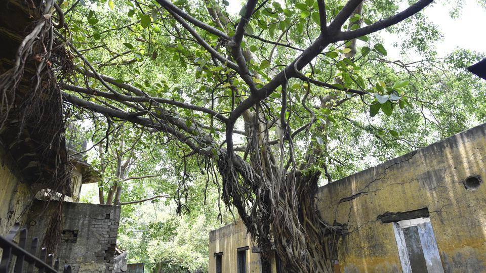 Near the Town Hall in Chandni Chowk, an old Banyan and Pilkhan tree have grown together and through the wall of the building, merging nature into built spaces in the old city. (Sanchit Khanna / HT Photo)