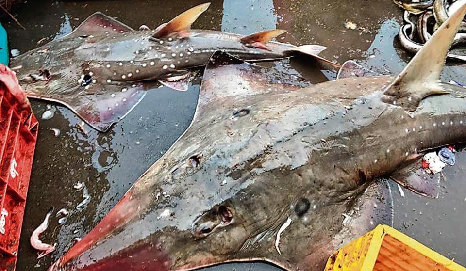 Mumbai,Maharashtra,Protected shark species