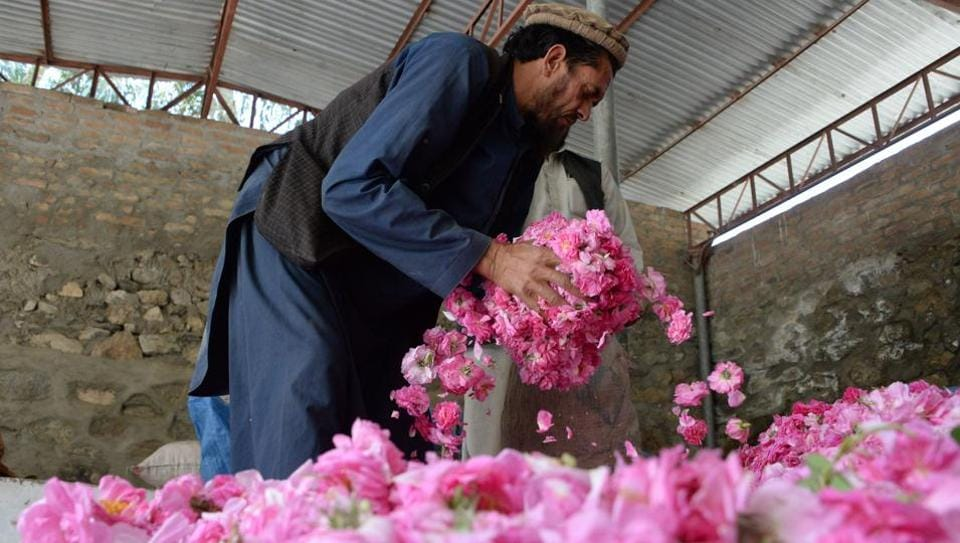 Afghan men fill a plastic bag with rose petals in the Dara-i-Noor district of Nangarhar province. The sweet smelling crop is providing farmers in Nangarhar province with a viable alternative to growing opium poppies, the sale of which has fuelled the conflict raging across the country. The carefully plucked petals are turned into rose water and oils for sale around the world. (Noorullah Shirzada / AFP)