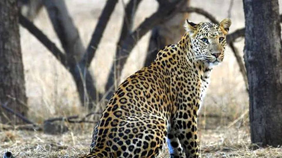 Motichur range,Leopard attack,man eater leopard