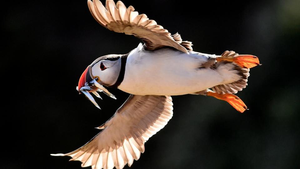 An Atlantic Puffin flies with sand eels in its beak in the late evening light on the island of Skomer, Wales, Britain on July 25, 2018. (Rebecca Naden / REUTERS)