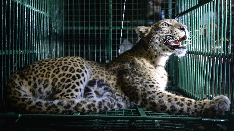 Rajaji Tiger Reserve,Leopard kills man,Uttarakhand