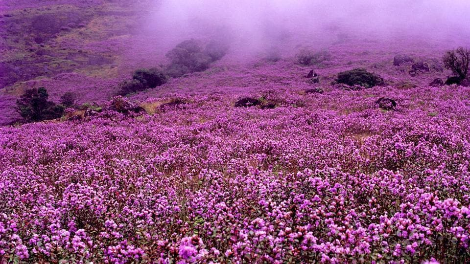 Starting late July, the Anamalai hills near Munnar in Kerala will be clad in purplish blue neelakurinji (Strobilanthes kunthiana) which bursts into flower once in 12 years.