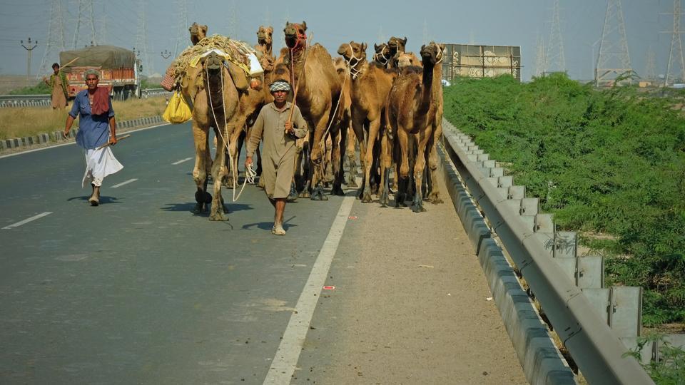 Camel,Camel fair,Pushkar