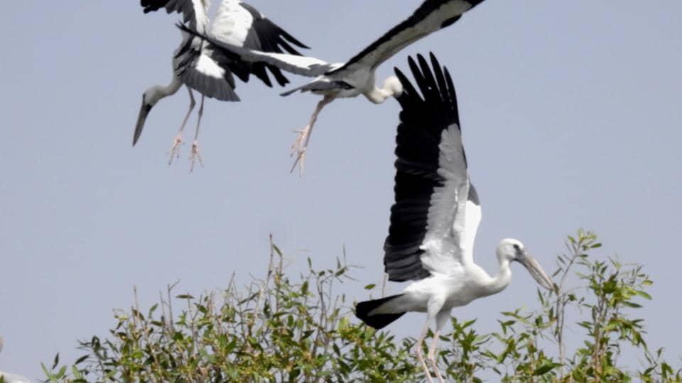 Open billed storks nesting in the Jamunia island of Chambal Ghariyal Sanctuary.
