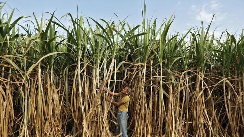Cane arrears,Sugarcane farmers,Parliament