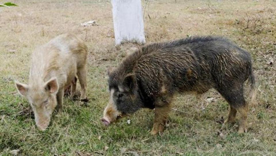 Pune,pig,menace