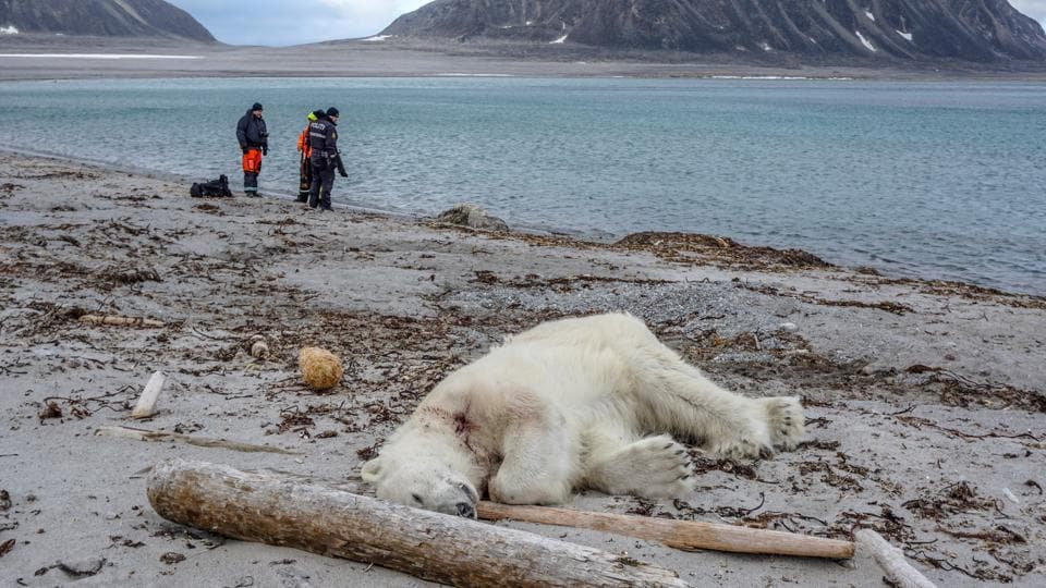 A polar bear, which Norwegian authorities said attacked and injured a cruise ship employee who was leading tourists off a cruise ship on an Arctic archipelago between mainland Norway and the North Pole, is seen after being shot dead by another employee according to the cruise company, in Svalbard, Norway. (Gustav Busch Arntsen / Governor of Svalbard / NTB Scanpix via REUTERS)