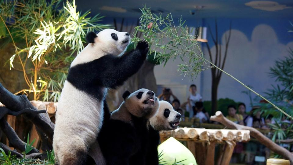 The world's only giant panda triplets Meng Meng, Shuai Shuai and Ku Ku celebrate their fourth birthday at Chimelong Safari Park in Guangzhou, China. (Bobby Yip / REUTERS)