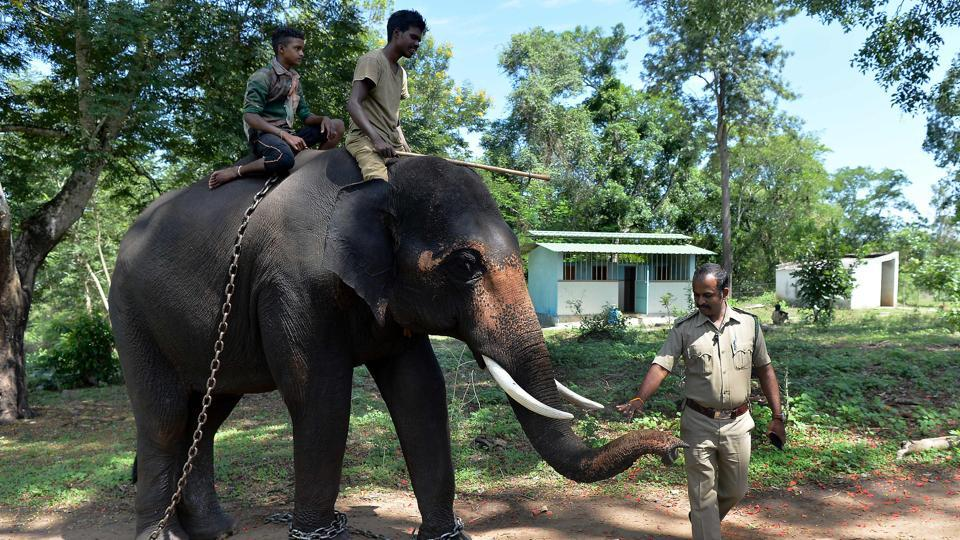 "A forestry official pats Ranjan, a tamed elephant at the Dubare Elephant Camp. Here in Karnataka, forest rangers, mounted on elephants themselves, capture problem pachyderms, of which there are more and more, and bring them to this camp. J.C. Bhaskar, an employee here, describes it ""like a jail"" but it is more of a rehabilitation and training centre. (Manjunath Kiran / AFP)"