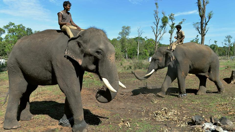 Mahouts ride tamed elephants at the Dubare Elephant Camp in Kodagu District, about 250 kms west of Bangalore. As India's 1.3-billion population grows, people are encroaching into habitats where until now the elephant, not man, had been king, with painful effects for both parties. The government told parliament in 2017 that 1,100 people had been killed in the previous three years. (Manjunath Kiran / AFP)