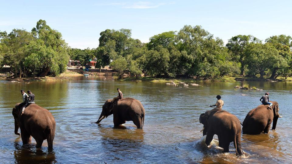 The 28 jumbos at the camp also draw tourists, with thousands visiting the lush, riverside camp each year, stroking the animals and enjoying being squirted with water. However, while such relocations may assuage local anger, officials and activists acknowledge it is only a stopgap solution. (Manjunath Kiran / AFP)