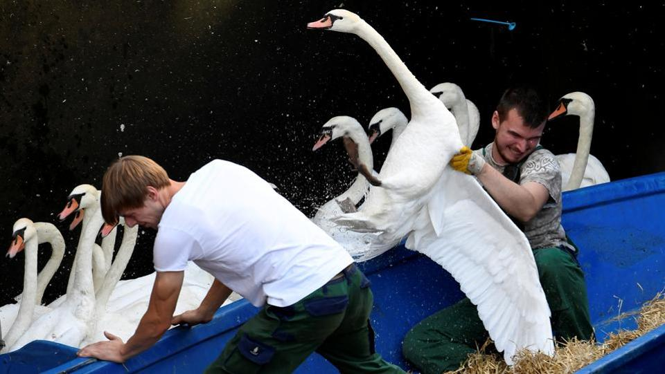Swans are rounded up at Hamburg's inner city lake Alster. Due to hot weather the swans are collected from waterways around the northern city of Hamburg, Germany, and taken to quarters where they usually spend the winter. (Fabian Bimmer / REUTERS)