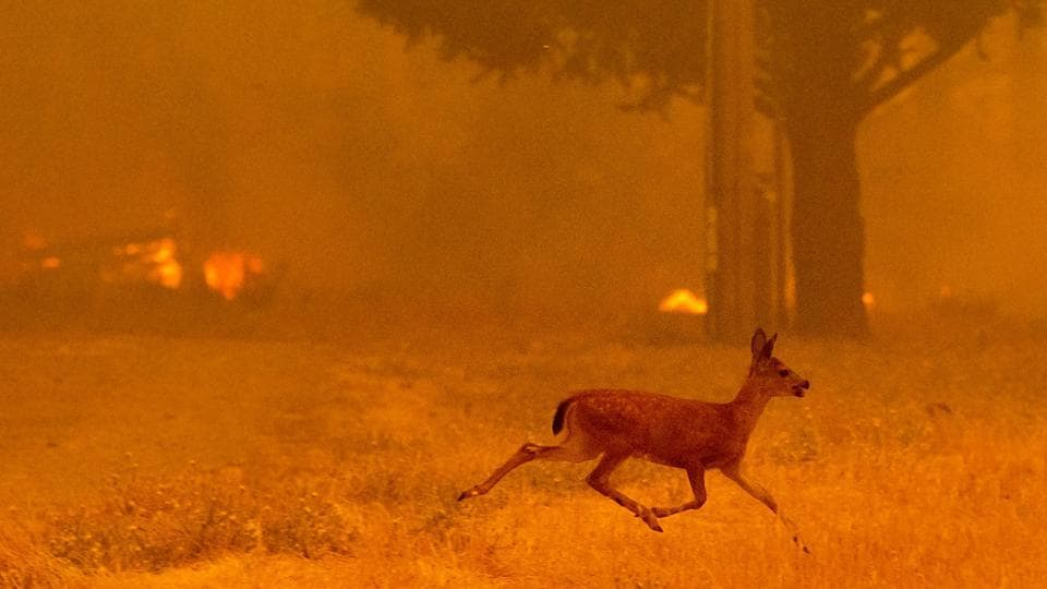 A deer runs from flames as the Ranch Fire tears down New Long Valley Road near Clearlake Oaks, California. (Noah Berger / AFP)