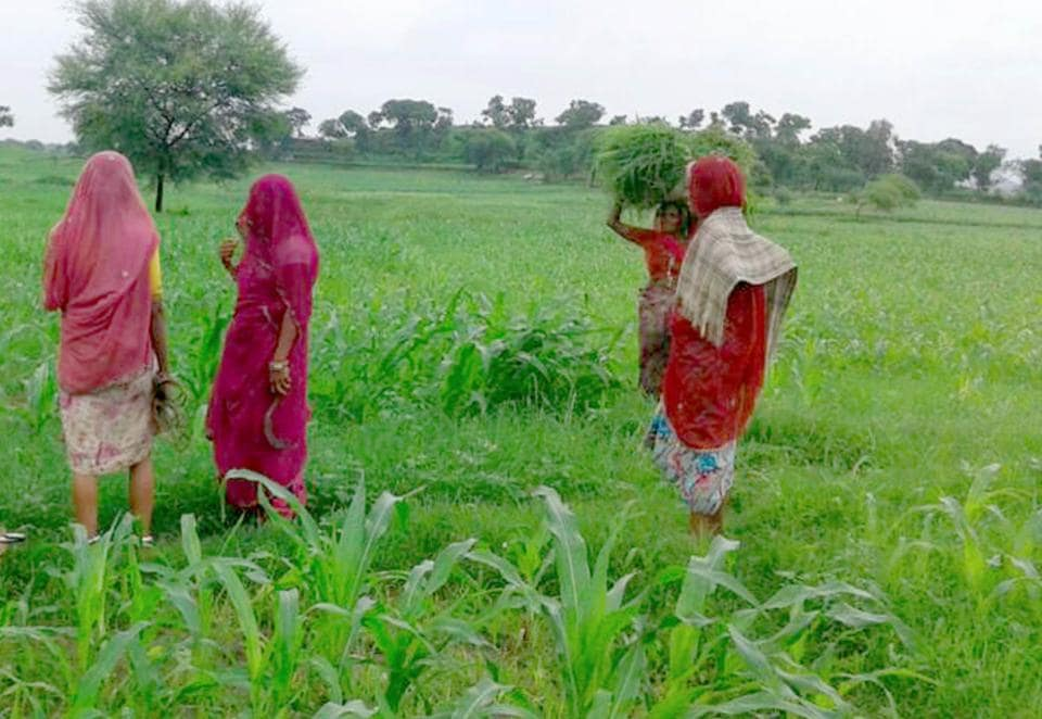 Rajasthan,Chemical fertiliser,Organic farming