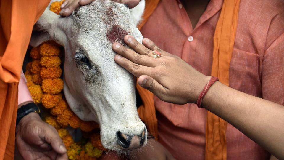 New Delhi, India - May 30, 2017: BJP Yuva Morcha activists offering pooja of a Calf during protest near AICC against slaughter of cow by the Youth Congress Leader in Kerala, in New Delhi, India, on Tuesday, May 30, 2017. (Photo by Mohd Zakir/ Hindustan Times)