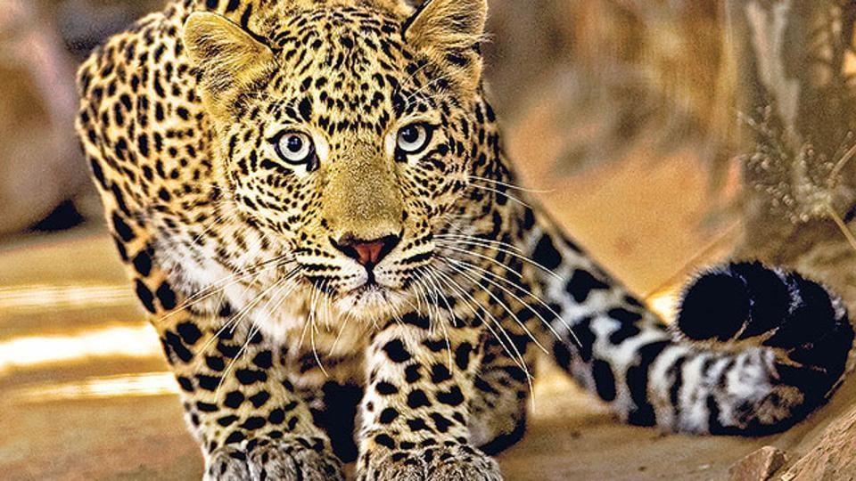 Leopard cub,Mosquito net,Igatpuri