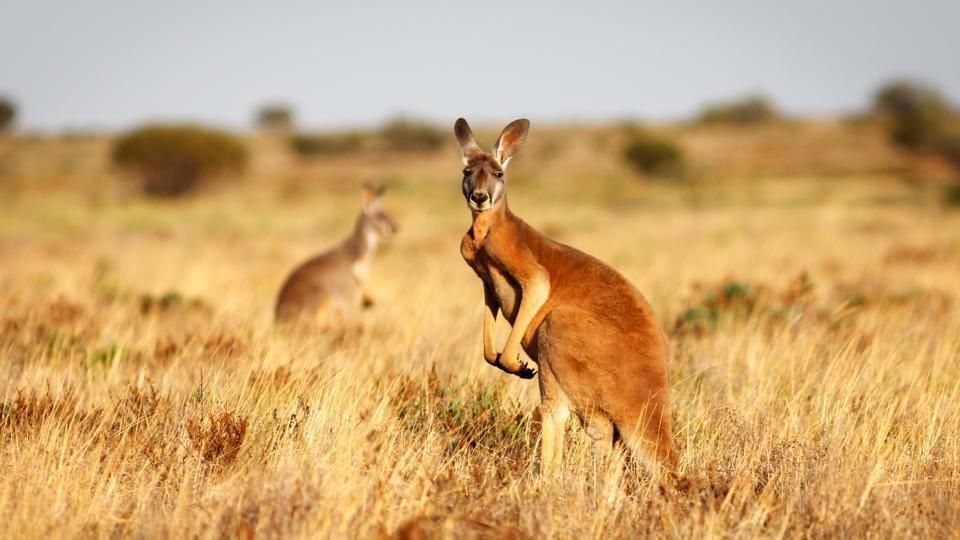 Australian researchers,kangaroos,Australian kangaroos