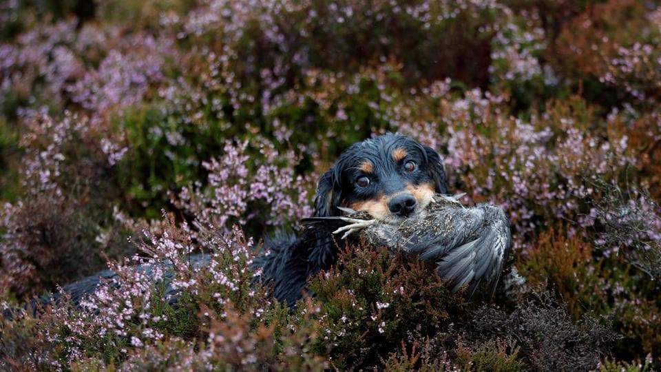 A gundog retrieves a grouse on Forneth Moor on the opening day of the grouse shooting season in Scotland. (Russell Cheyne / REUTERS)