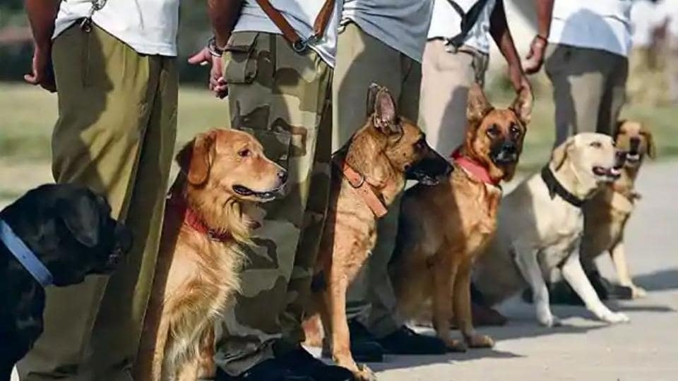A pair of Labradors trained in sniffing out explosives and landmines have won the Chief of Army Staff's commendation card this Independence Day for the heroics they performed in combat zones, entitling them to extra goodies and more rest .