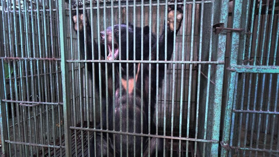 "The number of captive bears has dropped dramatically since 2005 from about 4,500 to less than 800 today, according to official data and Crudge, who recently co-authored a study on the issue. ""Farmers said it wasn't profitable to keep the bears any more so they started feeding them less and let them die off,"" Brian Crudge, research programme manager at Free The Bears, told AFP. (Nhac Nguyen / AFP)"