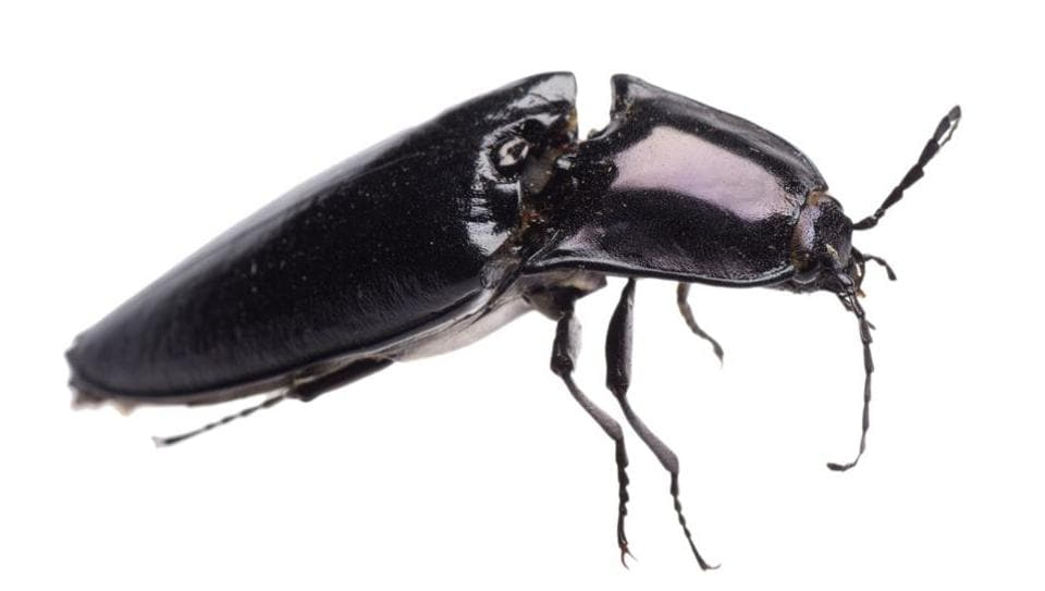 99-million-year-old beetle,beetle,research