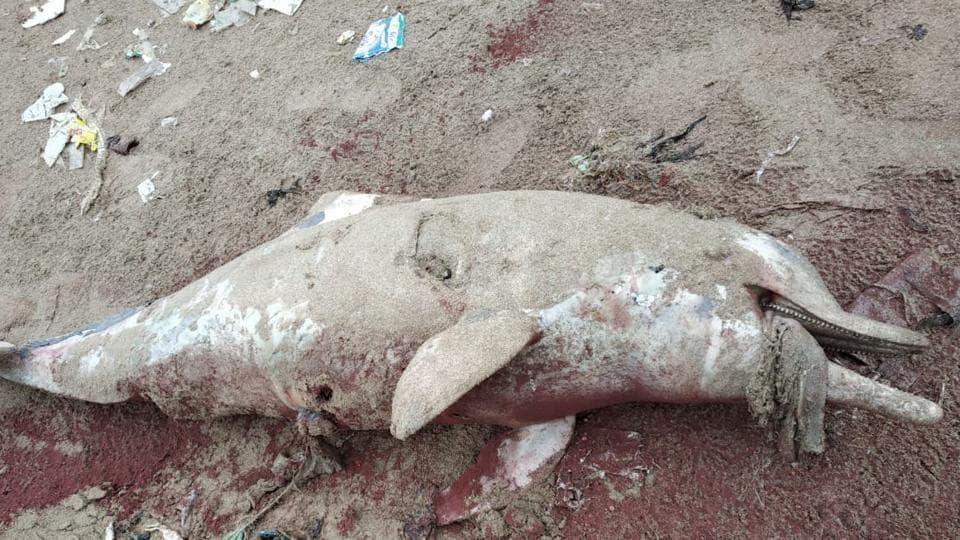 dolphin death in Mumbai,dolphin carcass at Marine Drive,mumbai
